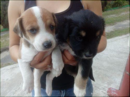 Modish Ogłoszenia - Psy - Oddam psiaki w dobre rece MN77